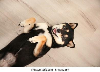 Cute Shiba inu dog lying on wooden floor