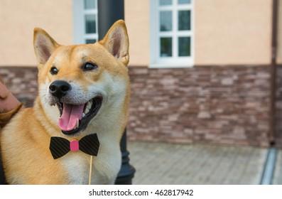 Cute Shiba Inu dog with a tie bow