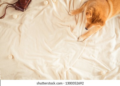 Cute Shiba Inu dog with warm blanket lying on bed, top view. Flat lay