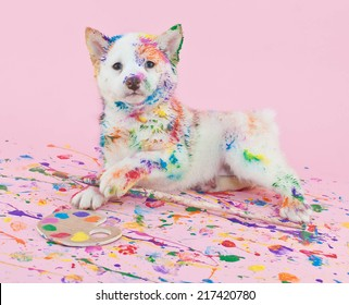 Cute Shiba Inu puppy that looks like she had lots of fun in art class, making a mess with paint.