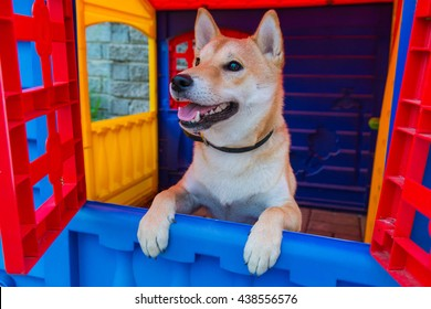 Cute Shiba Iny dog