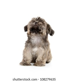 Cute shih tzu dog begging for a treat on white background