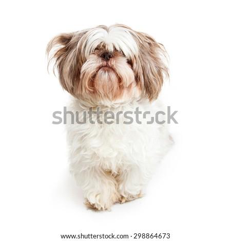 Cute Shih Tzu Dog Long Hair Stock Photo Edit Now 298864673