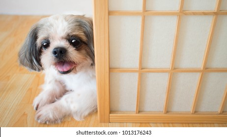 Cute Shih tzu dog looking with curious eyes and lying down on wooden floor behind the Japanese style door at home. Pet behavior and lifestyle concept. Copy space.
