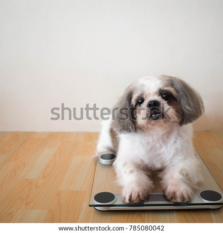 Cute Shih Tzu Dog Sitting On Stock Photo Edit Now 785080042