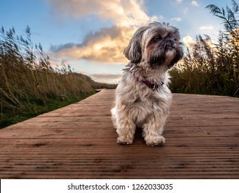 Cute Shih Tzu Dog watching the Sunset on the Island Sylt