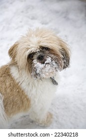 A cute Shih Tzu with a face full of snow
