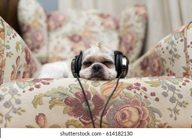 Cute Shih Tzu lying on the shabby chic chair with headphones and listening music