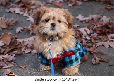 A Cute Shih Tzu Puppy