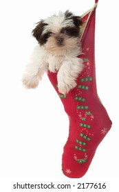 Cute Shih Tzu puppy dog, hanging in a Christmas stocking.