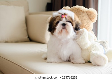 Cute shih tzu puppy is sitting and looking to us