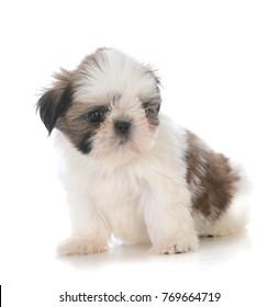cute shih tzu puppy sitting isolated on white background
