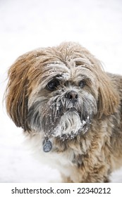 A cute Shih Tzu with snow on his face.