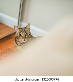 Cute short hair cat looking curious and snooping at home playing hide and seek
