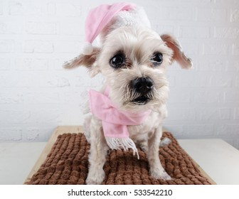 Cute short hair mixed breed puppy (Shih-Tzu / Schnauzer) with Christmas hat and scarf