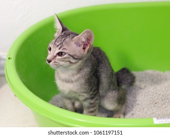 cute short hair young asian kitten cat black and white stripes as house pet sitting in home made green plastic litter box grey cat sand selective focus making funny face