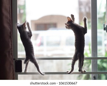 cute short hair young asian kitten cats black and white stripes as house pet playing around inside a house climbing on mosquito net mesh slide door selective focus blur background