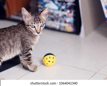 cute short hair young asian kitten cats black and white stripes adorable house pet playing cat ball around inside a house