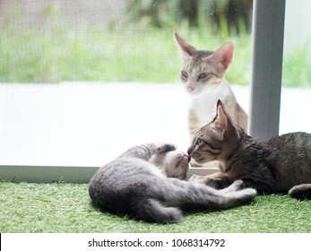 cute short hair young asian kitten cats home pet grey and white colour stripes as adorable house pet playing around inside a house with a homeless free cat outside behind the mosquito net slide door