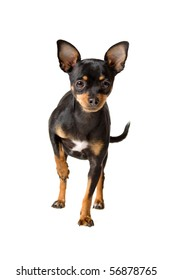 cute short haired chihuahua dog looking at camera, isolated on a white background