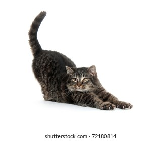 cute shorthaired house cat stretching on white background