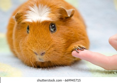 Cute shy guinea pig with its paw on a human finger as if shaking hands (with selective focus on the guinea pig paw and finger)