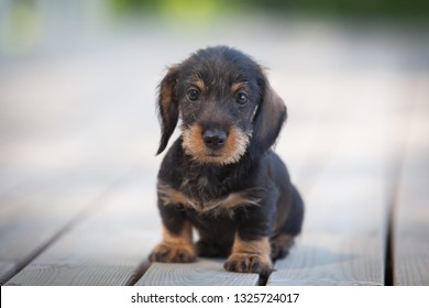 Cute and shy wire-haired miniature dachshund puppy posing on the terrace by the lake