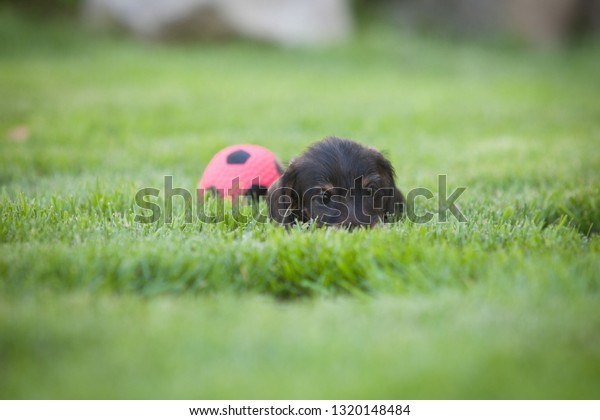 Cute and shy wire-haired miniature dachshund puppy playing with a ball on the lawn. The ball is almost same sized as puppy