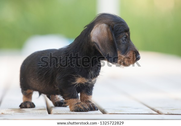 Cute and shy wire-haired miniature dachshund puppy posing on the terrace