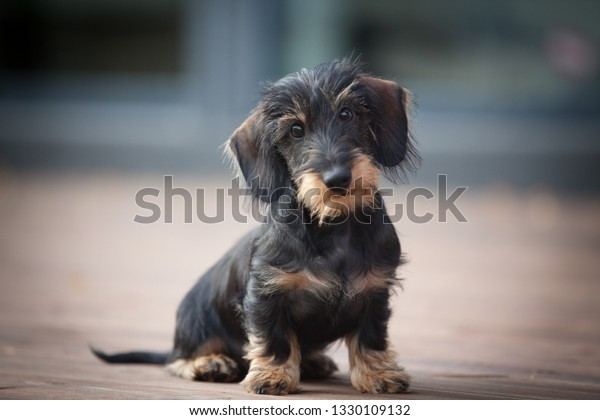 Cute and shy wire-haired miniature dachshund puppy posing for the photographer on the terrace
