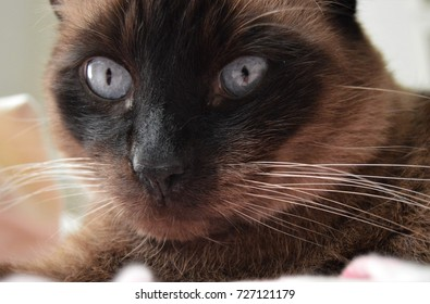 Cute Siamese cat face, nose, eyes, whiskers close up