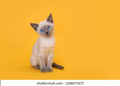 Cute Siamese Kitten Smiling With Head Tilted on Yellow Background