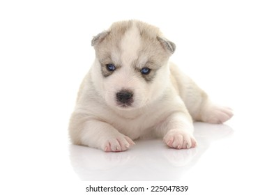 Cute siberian husky on white background isolated