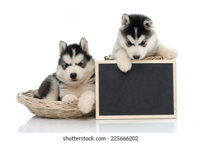 Cute siberian husky puppies holding chalk board  isolated on white background