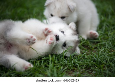 Cute siberian husky puppies playing on green grass