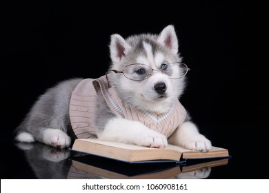 Cute Siberian Husky puppy with books and glasses