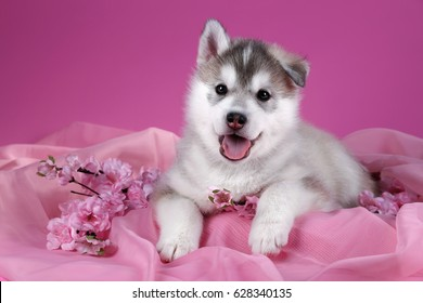 Cute Siberian husky puppy with flowers on a pink background background