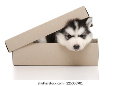 Cute siberian husky puppy insiside box white background isolated