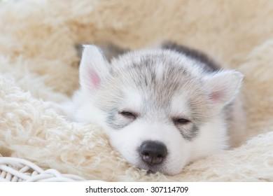 cute siberian husky puppy lying on white wicker chair