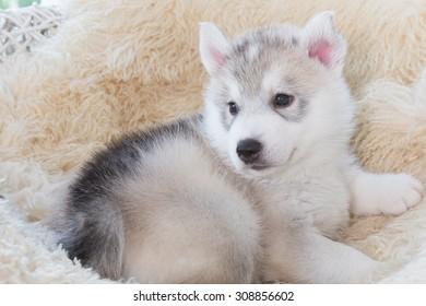 cute siberian husky puppy on white wicker chair