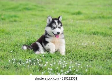 Cute siberian husky puppy on grass