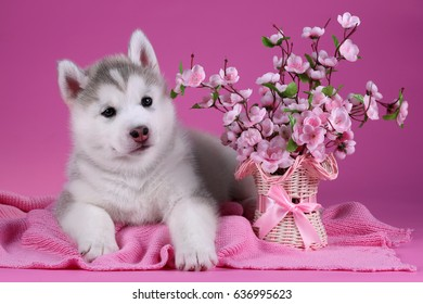 Cute Siberian Husky puppy with pink flowers