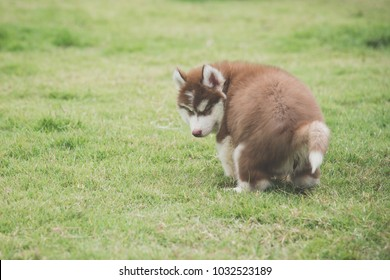Popular Siberian Husky Chubby Adorable Dog - cute-siberian-husky-puppy-pooping-260nw-1032523189  Picture_739145  .jpg