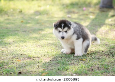 Cute siberian husky puppy pooping on green grass under sunset with copy space
