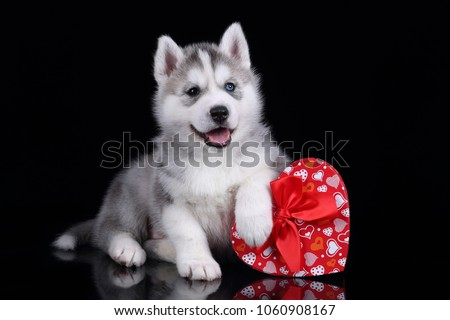 Cute Siberian Husky Puppy Red Gift Stock Photo Edit Now 1060908167