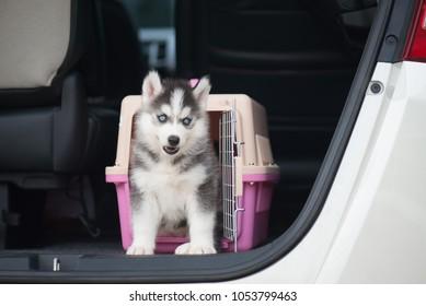Cute siberian husky puppy  sitting in a travel box