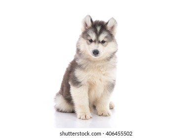 Cute siberian husky puppy sitting on white background isolated