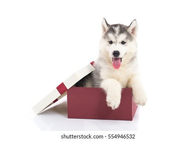 Cute siberian husky puppy sitting in a gift box on white background isolated