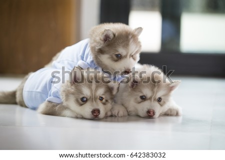 Cute Siberian Husky Puppythree Baby Brown Stock Photo Edit Now