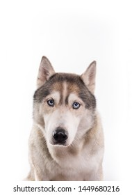 Cute Siberian Husky sitting in front of a white background. Portrait of husky dog with blue eyes isolated on white. Copy space